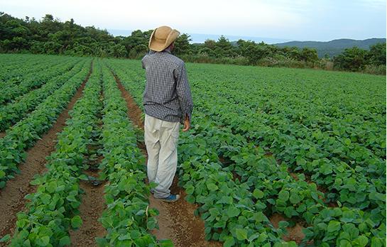 大浜大豆の畑
